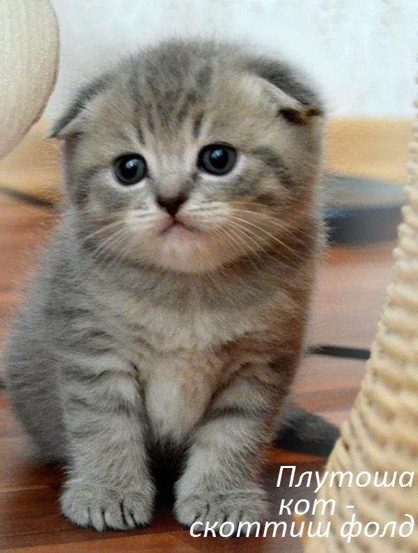 Шотландский котенок  вислоухий голубой