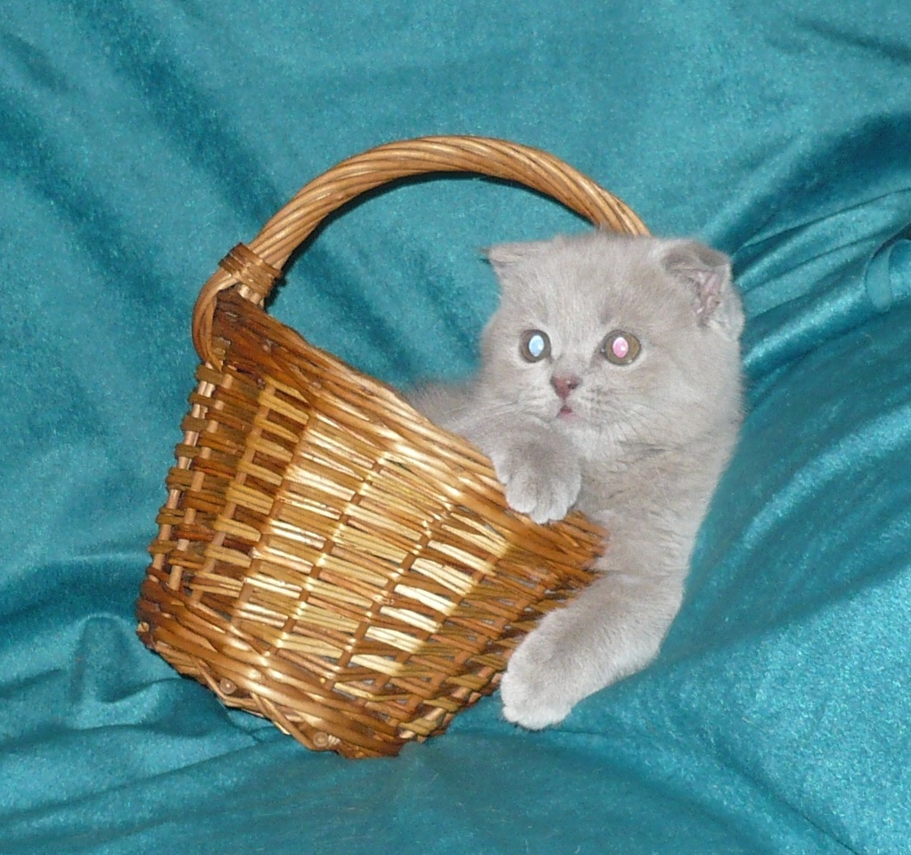 Вислоухая от кота кирила kirill glamour driams